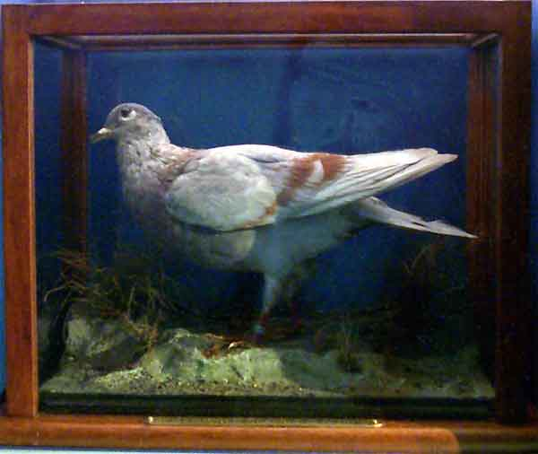 The pigeon which was released from an H. 12 flying boat when in difficulties in the North Sea on 5th September 1917 (RAFM 72/C/465)
