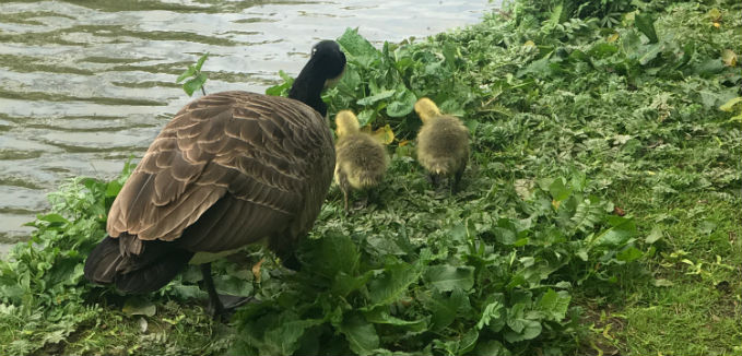 A Canada Goose Hen with her chicks